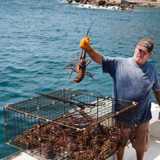 Saba Lobster!