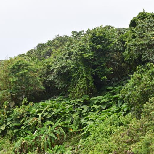 Banana Plantation - Saba Island Premier Properties